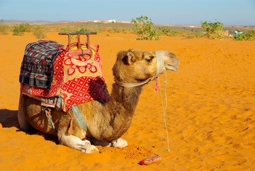 trip-in-morocco-around-agadir-camel